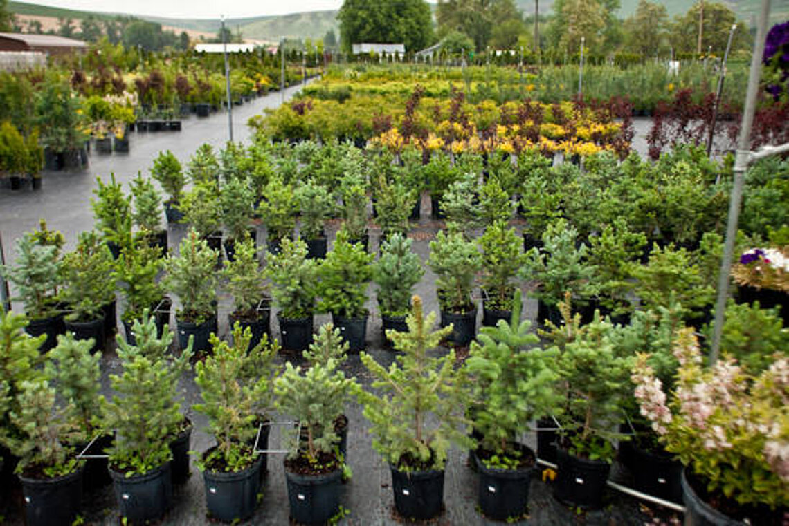 Nursery trees at Ace Landscaping